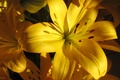 Picture macro, Lily, yellow, yellow, macro, Lilies