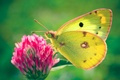 Picture Butterfly, green, clover