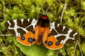 Picture great tiger moth, garden tiger, moth