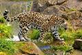 Picture stones, waterfall, Jaguar, big cat, is