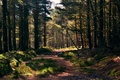 Picture forest, grass, track, pine
