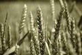 Picture macro, wheat, grain