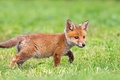 Picture greens, grass, Fox