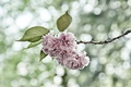 Picture flowers, branch, background, Sakura, pink, glare, leaves