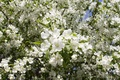 Picture white, summer, leaves, the sun, flowers, green, spring, Apple, Apple blossoms