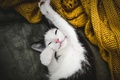 Picture Tomcat, Koshak, foot, cat