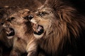 Picture cats, Leo, pair, fangs, profile, lioness