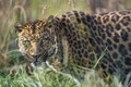 Picture grass, look, face, leopard, ©Tambako The Jaguar