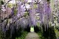 Picture Park, Wisteria, Kawachi Fuji Garden, alley, Wisteria, Japan, track