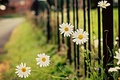 Picture flower, leaves, flowers, green, background, widescreen, Wallpaper, the fence, chamomile, blur, gate, Daisy, the fence, ...