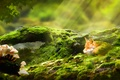 Picture forest, grass, mushrooms, moss, web, art, Fox, Fox, log, the sun's rays