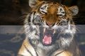 Picture portrait, mouth, laughing tiger, tiger, fangs, mood, laughter, language