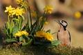 Picture flowers, Primula, woodpecker, bird, daffodils
