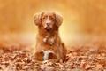 Picture portrait, look, autumn, dog, leaves