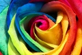 Picture Bud, petals, Rosa, colorful, rainbow, rose