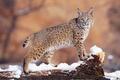 Picture lynx, snow, winter
