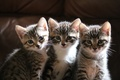 Picture sitting, kittens, three, look