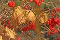 Picture berries, Kalina, autumn, leaves