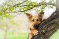 Picture dog, look, tree, face, shepherd, German shepherd