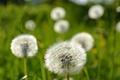 Picture flowers, nature, dandelions