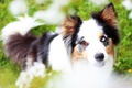 Picture the border collie, odd-eyed, summer, meadow, greens, glade, face, puppy, flowers, portrait, dog