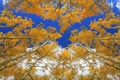 Picture the sky, trunk, aspen, trees, crown, autumn, forest