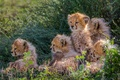 Picture small, fluffy, cubs, Cheetahs