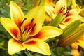 Picture flower, yellow, Lily