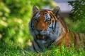 Picture tiger, predator, face, stay, wild cat