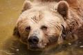 Picture look, bear, water, bathing, face, bear
