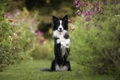Picture flowers, mood, dog, stand, kosmeya, The border collie