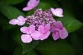 Picture flowers, dobraatebe, green, purple