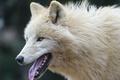 Picture wolf, ©Tambako The Jaguar, face, predator, language