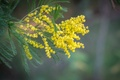 Picture nature, branch, Mimosa, leaves