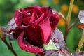 Picture drops, rose, blur, Burgundy