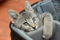Picture sitting, kitty, bag, grey, muzzle, look, cat