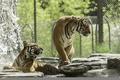Picture predators, pair, zoo, tigers, bathing, wild cats