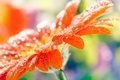 Picture flower, drops, macro, orange, petals, blur, gerbera