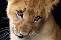 Picture mustache, lion, look