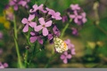 Picture flowers, nature, flower, lilac, noon, mood, butterfly, Macro, summer, wallpaper, insects