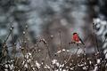 Picture snow, branches, bird, bullfinch