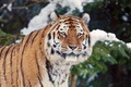 Picture tiger, snow, winter