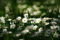 Picture summer, macro, chamomile, flowers