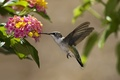 Picture flowers, Sunny, Hummingbird, bird, nectar, leaves