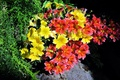 Picture black background, Salpiglossis, flowers