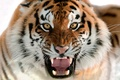 Picture cat, fangs, face, grin, the Amur tiger