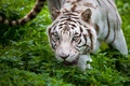Picture white tiger, predator, face, thickets, wild cat