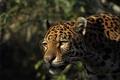 Picture look, Jaguar, predator, face, wild cat