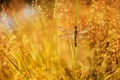 Picture panicles, Rosa, glare, grass, dragonfly, a blade of grass, drops