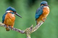 Picture feathers, branch, kingfisher, beak, color, pair, bird, Kingfisher